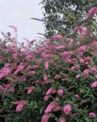 arbres aux papillonsbuddleia_pink_delight.jpg