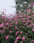 arbres aux papillonsbuddleia_pink_delight.jpg